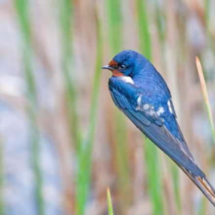 Swallow on Reed, Canon EOS-1DS MARK II, Canon EF 400mm f/5.6L