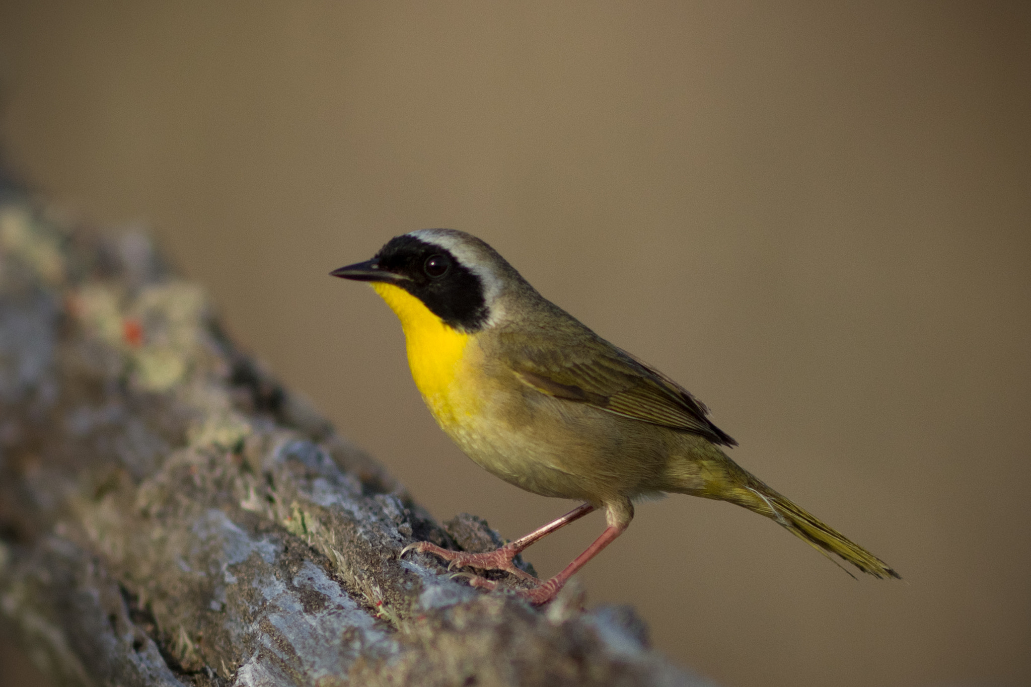 Photograph Common Yellow Throat by Anuj  Raj on 500px