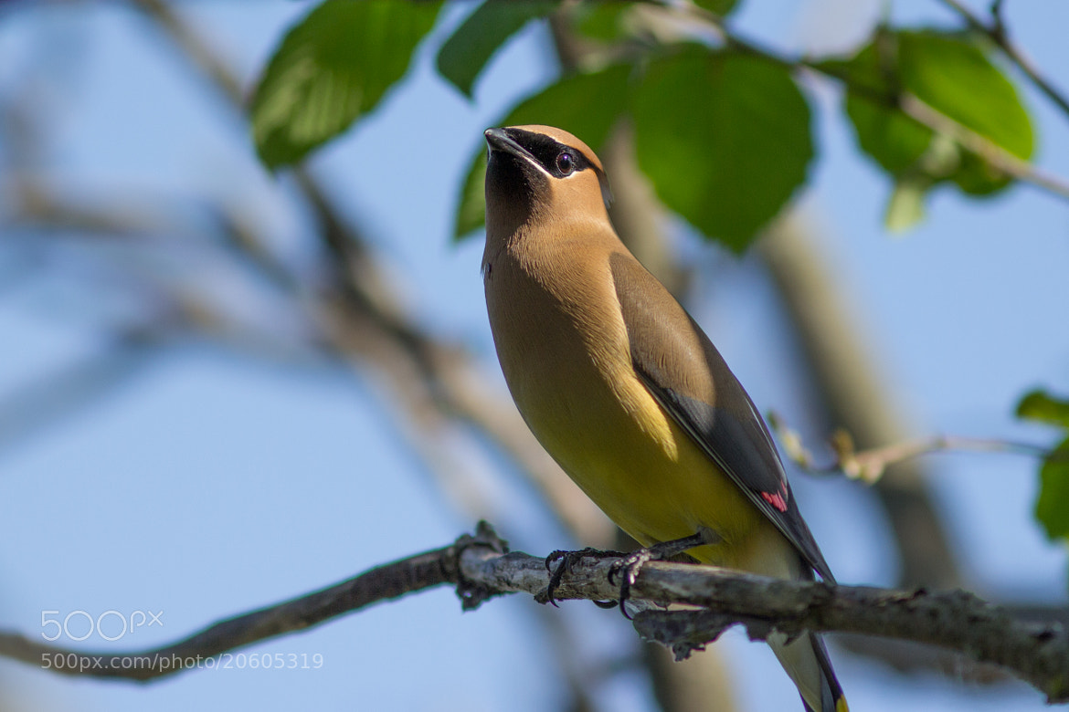 Photograph waxwing by Anuj  Raj on 500px