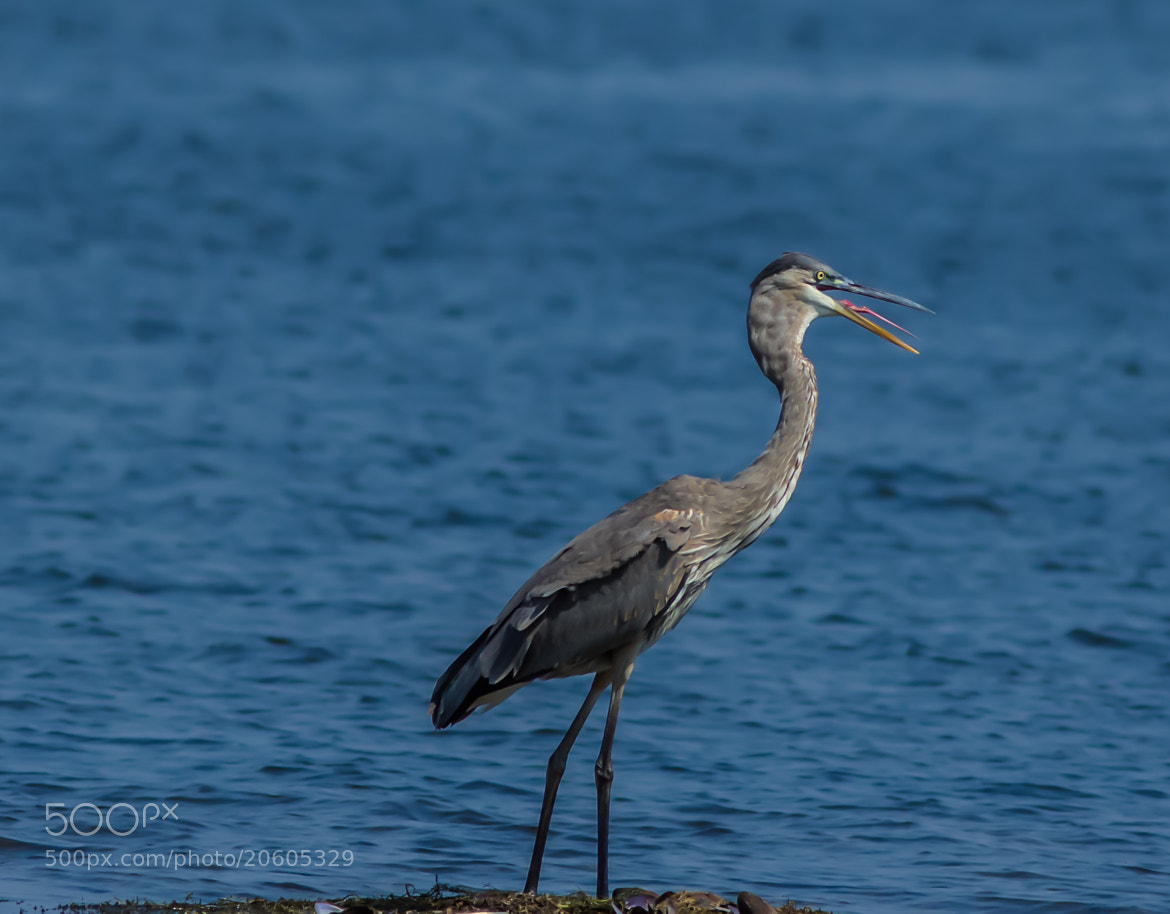 Photograph Great Blue Heron by Anuj  Raj on 500px