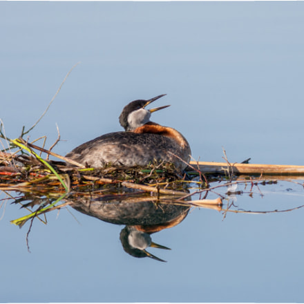 Red Necked Grebe, Canon EOS-1D MARK II, Canon EF 400mm f/5.6L