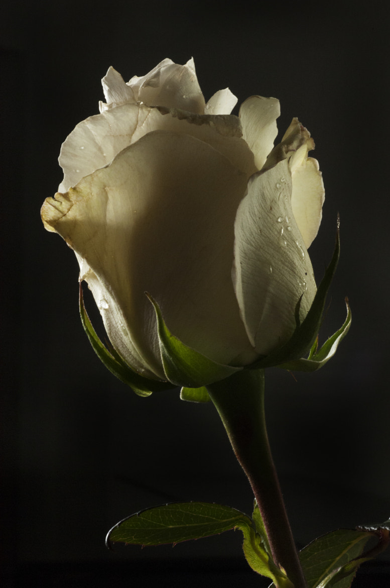 Photograph White rose by Cristobal Garciaferro Rubio on 500px