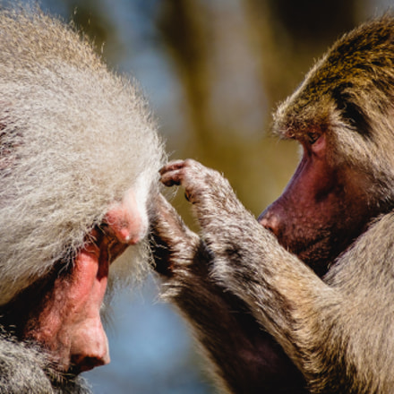 Baboons Grooming, Fujifilm X-T1, XF100-400mmF4.5-5.6 R LM OIS WR + 1.4x