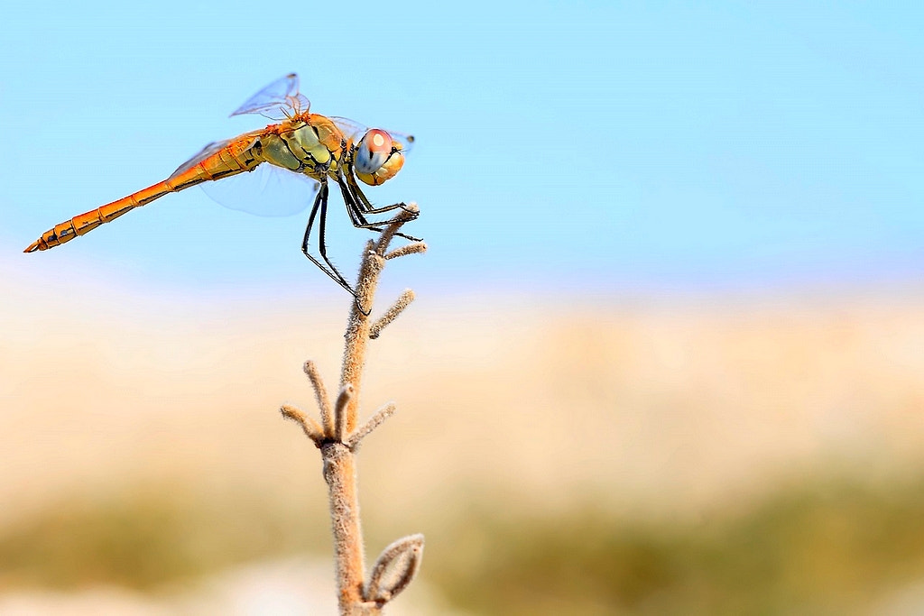 Photograph the golden dragonfly by wise photographie on 500px
