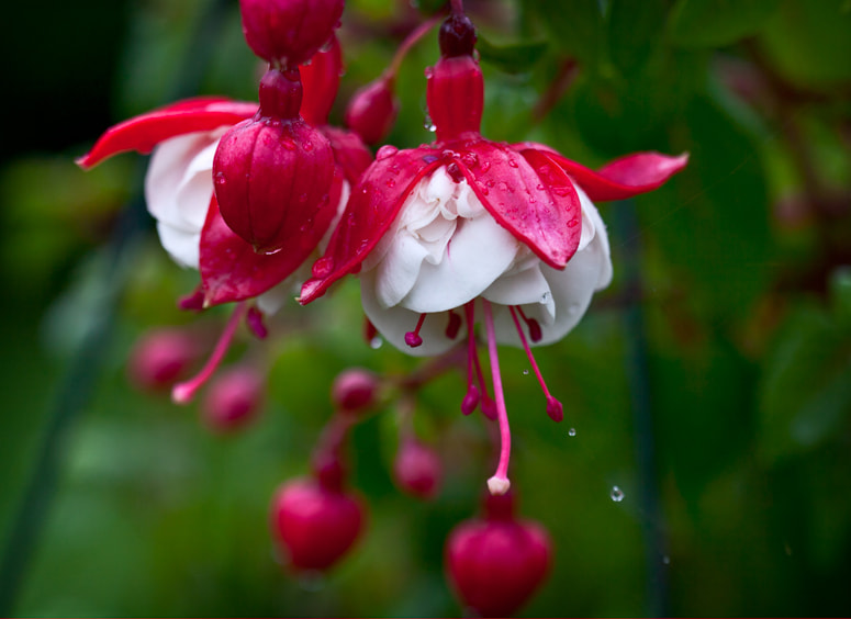 Photograph Fushia after the rain by Michel Latendresse on 500px