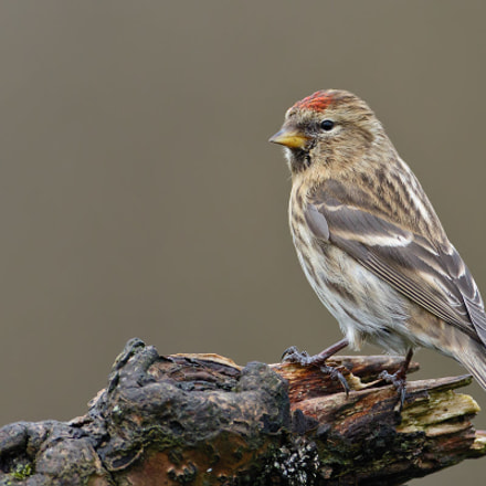 Lesser Redpoll, Acanthis cabaret, Canon EOS 7D MARK II, Canon EF 500mm f/4L IS