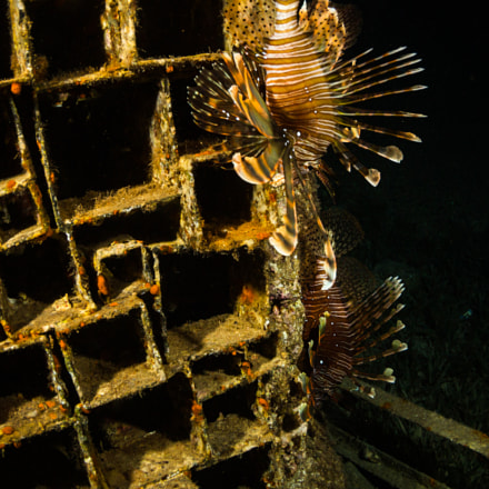 Lionfish, Canon EOS 5D MARK III, Canon EF 8-15mm f/4L Fisheye USM