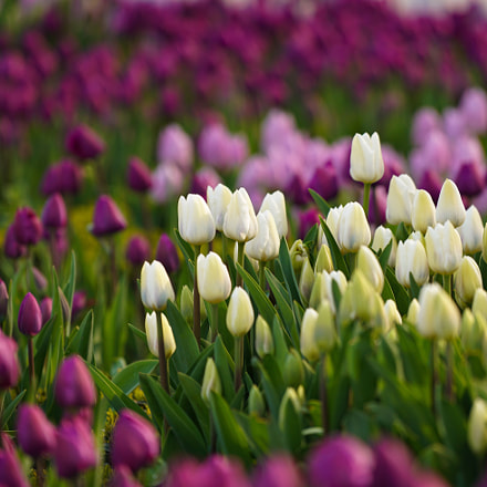 Tulip Festival in Istanbul, Sony ILCE-7RM2, Sony FE 70-200mm F4 G OSS