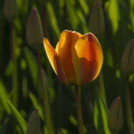 orange tulip, Sony ILCE-6000, Sony E 18-200mm F3.5-6.3 OSS LE