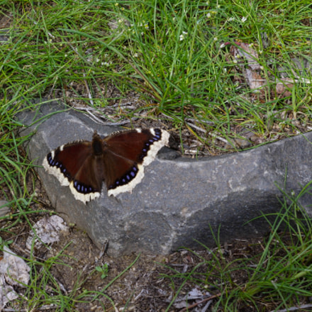Mourning Cloak, RICOH PENTAX K-3, smc PENTAX-DA 50mm F1.8