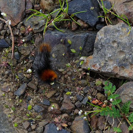 Woolly Bear, RICOH PENTAX K-3, smc PENTAX-DA 50mm F1.8