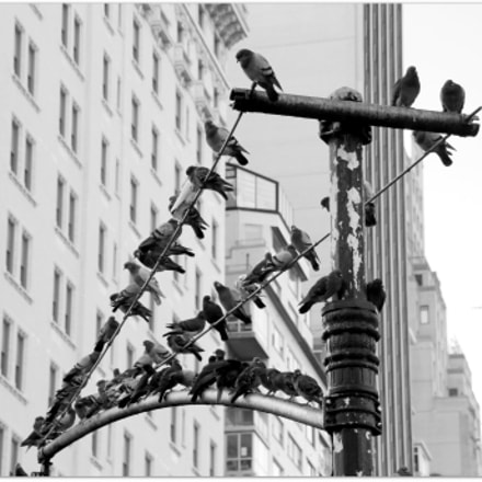 Pigeons NYC, Canon EOS 600D, Sigma 18-200mm f/3.5-6.3 DC OS