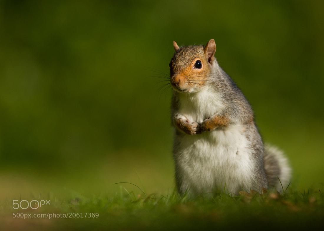 Photograph Grey Squirrel by Dalia Kvedaraite on 500px