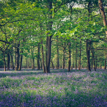 Bluebell forest, Canon EOS 6D, Canon EF 24-105mm f/4L IS