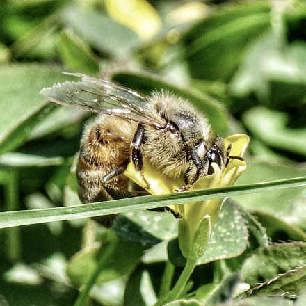 Busy Bee, Sony DSC-RX10M3, Sony 24-600mm F2.4-4.0