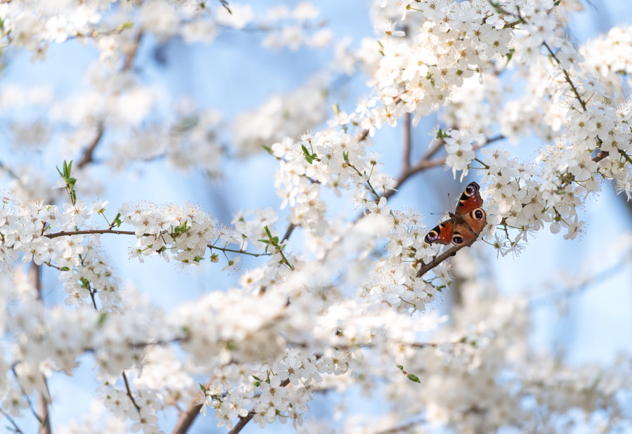 Peacock butterfly on cherry blossoms by Ivan Kravtsov on 500px.com