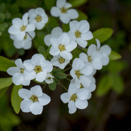 White flowers, Panasonic DMC-GM5, Leica DG Macro-Elmarit 45mm F2.8 Asph. Mega OIS