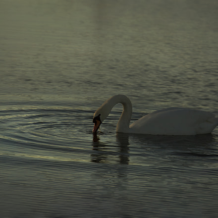 swanlake, Canon EOS 5D MARK III, Canon EF 70-300mm f/4-5.6L IS USM