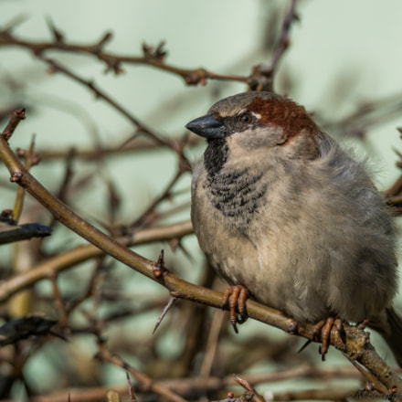 House Sparrow (passer domesticus), Sony ILCA-77M2, 150-600mm F5-6.3 SSM