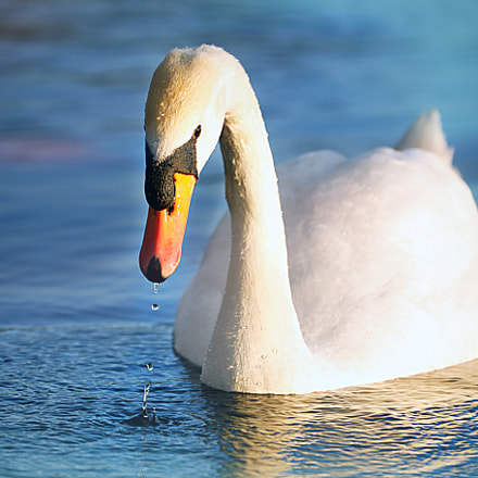 Swan, Canon EOS 6D, Canon EF 70-300mm f/4-5.6L IS USM