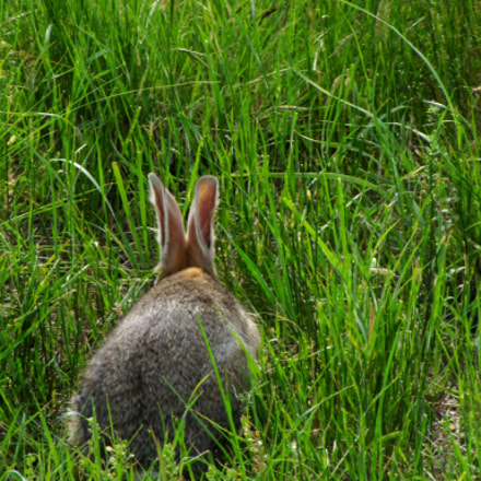 Rabbit in the grass, Canon POWERSHOT SX10 IS