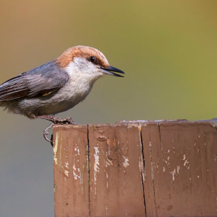 Brown-headed Nuthatch, Canon EOS 7D, Canon EF 70-300mm f/4-5.6L IS USM
