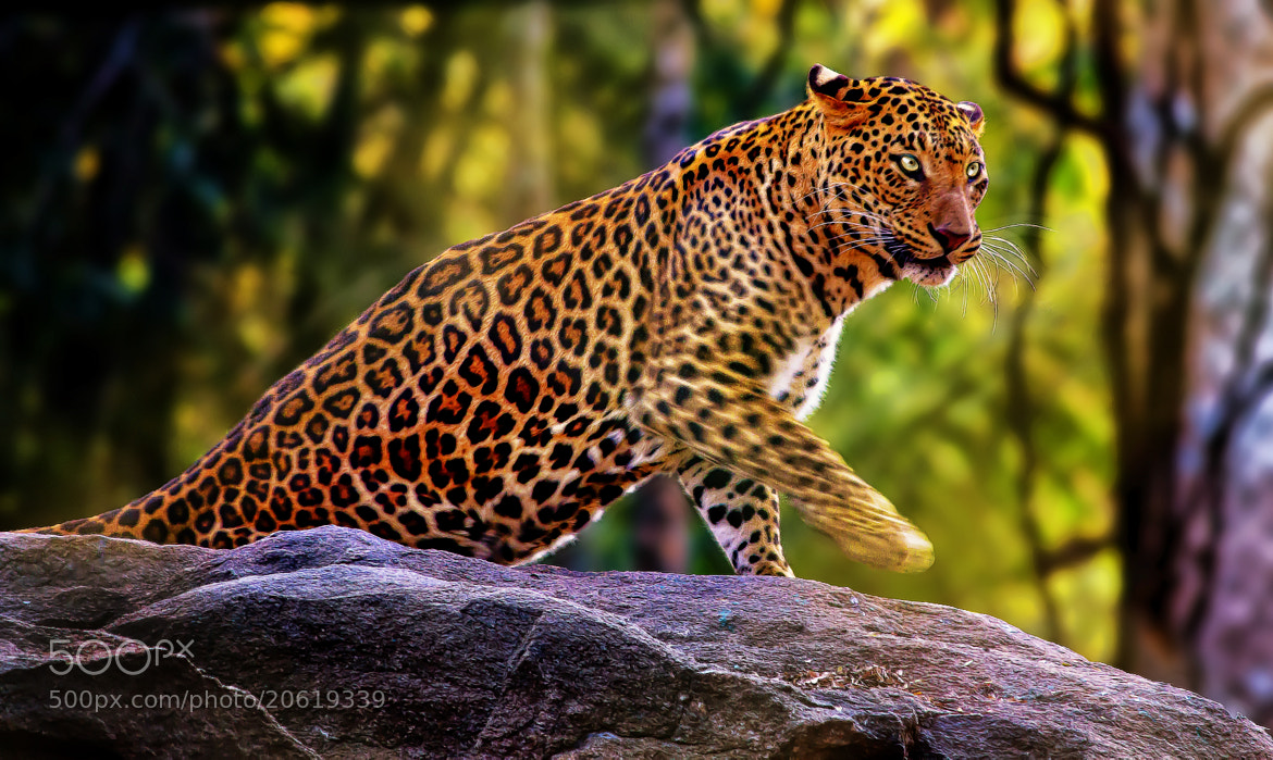 Photograph The Indian Leopard.  by Sreekumar  Mahadevan Pillai on 500px