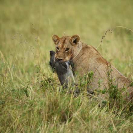 African Lioness With Kill, Canon EOS-1D X, Canon EF 200-400mm f/4L IS USM + 1.4x