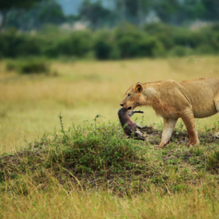 Masai Lion With Kill, Canon EOS-1D X, Canon EF 200-400mm f/4L IS USM + 1.4x