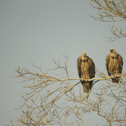 Long-Billed Vultures, Canon EOS-1D X, Canon EF 200-400mm f/4L IS USM + 1.4x