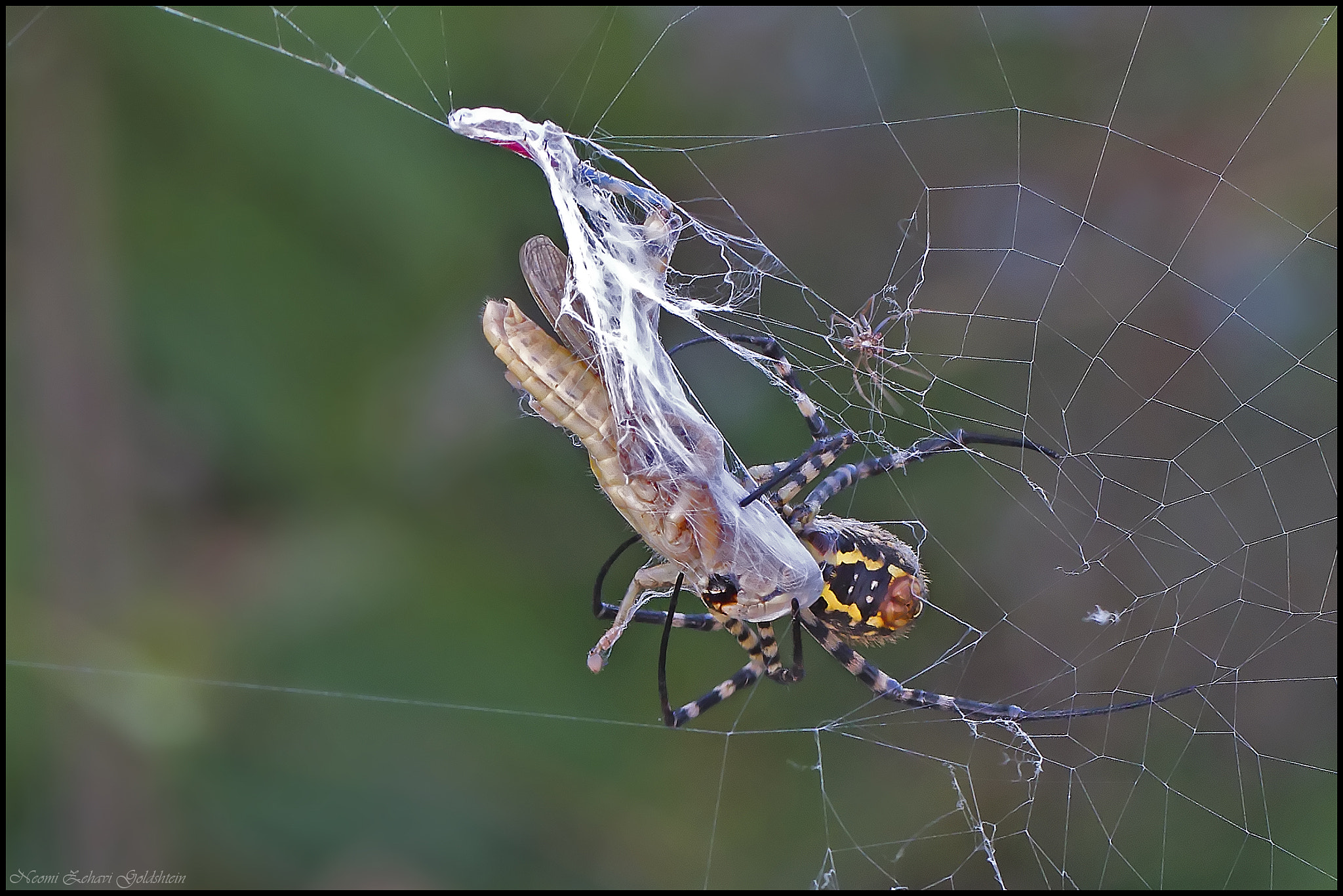Photograph Spider eating by gneomi on 500px