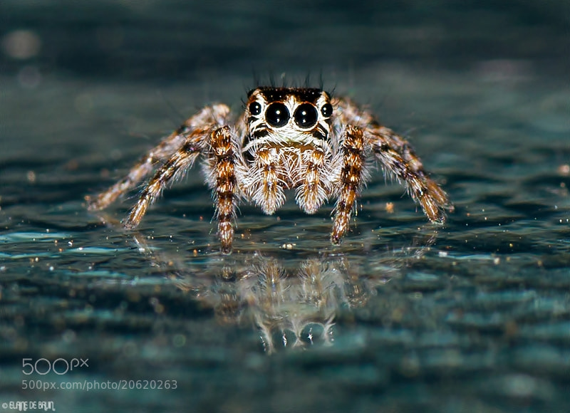 Photograph Jumping Spider  by Elaine  de Bruin on 500px