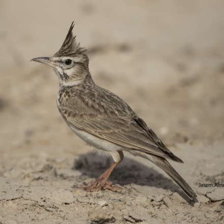 crested lark posing, Canon EOS-1D X MARK II, Canon EF 800mm f/5.6L IS