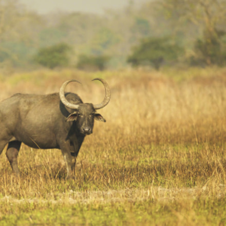 Wild Water Buffalo, Canon EOS-1D X, Canon EF 200-400mm f/4L IS USM + 1.4x