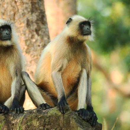Langur Monkeys, Canon EOS-1D X, Canon EF 200-400mm f/4L IS USM + 1.4x