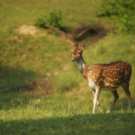 Spotted Deer, Canon EOS-1D X, Canon EF 200-400mm f/4L IS USM + 1.4x