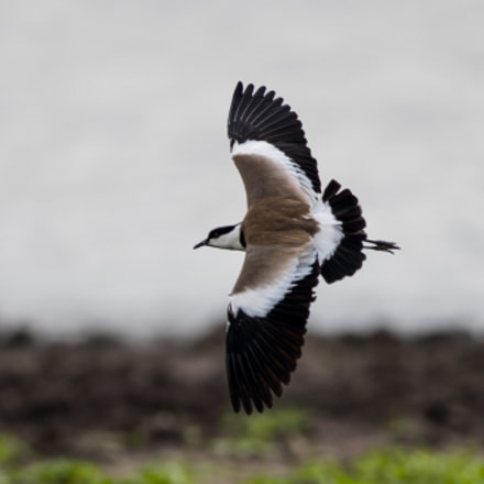 Spur Winged Lapwing, Canon EOS-1D X MARK II, Canon EF 400mm f/2.8L IS II USM