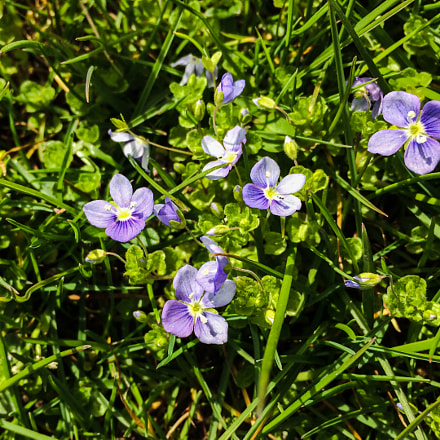 speedwell blue, Apple iPhone 5s, iPhone 5s back camera 4.15mm f/2.2