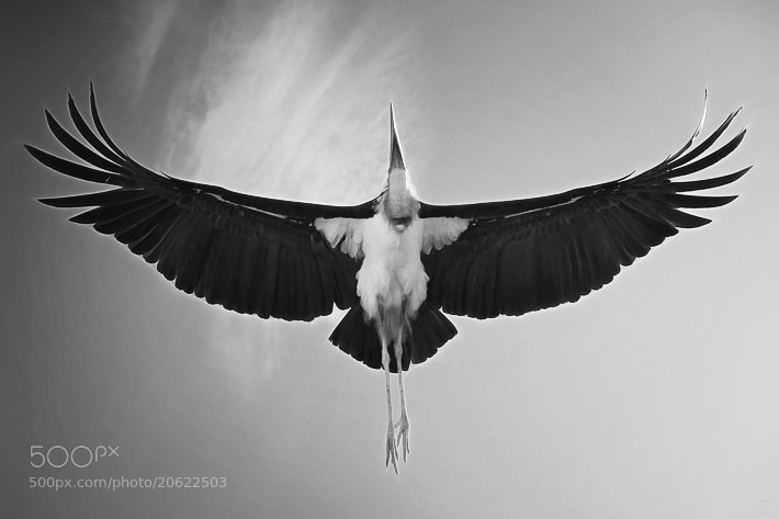 "Photograph ""Flight of the Marabou"" by Janne Olkkonen on 500px"