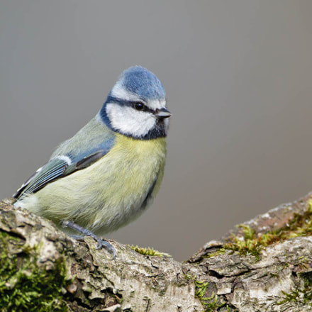 Blue Tit, Cyanistes caeruleus, Canon EOS 7D MARK II, Canon EF 500mm f/4L IS