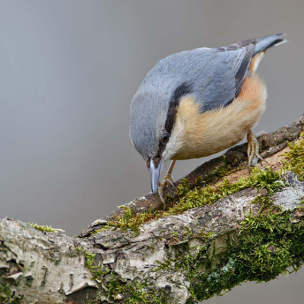 Nuthatch, Sitta europaea, Canon EOS 7D MARK II, Canon EF 500mm f/4L IS