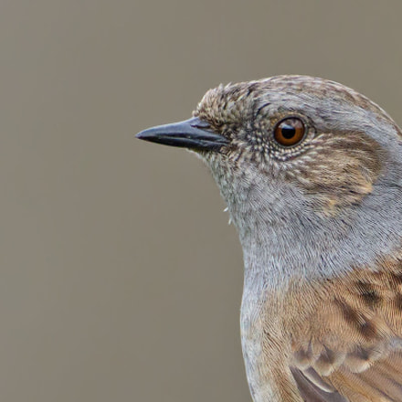 Dunnock, Prunella modularis, Canon EOS 7D MARK II, Canon EF 500mm f/4L IS