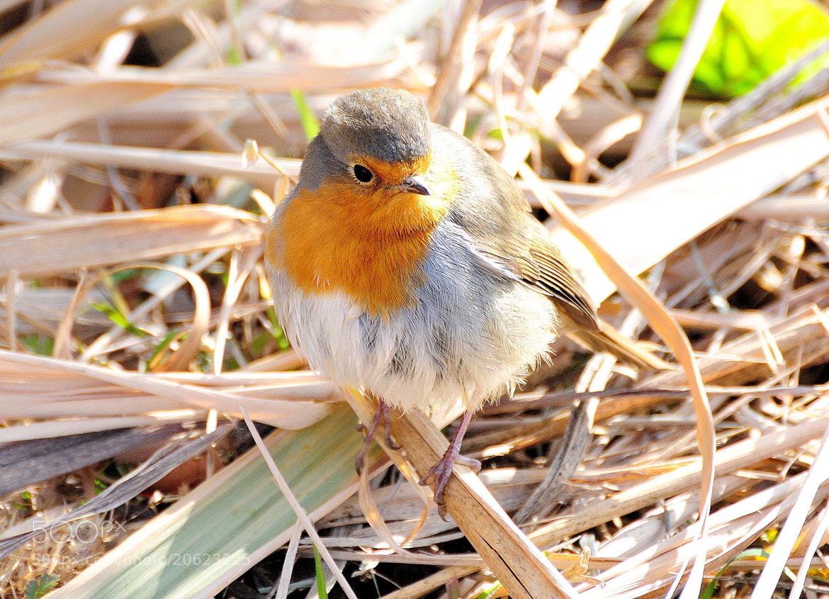 Photograph Pit-roig (Erithacus rubecula) by Joan Oliveras on 500px
