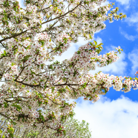 Cherry blossom in Daventry, Canon EOS M, Canon EF-M 22mm f/2 STM
