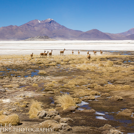 Vicunas on a remote, Canon EOS 550D, Canon EF 40mm f/2.8 STM