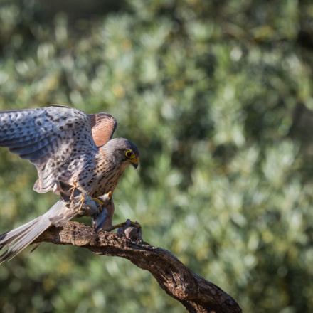 Kestrel, Canon EOS 5D MARK III, Canon EF 200-400mm f/4L IS USM