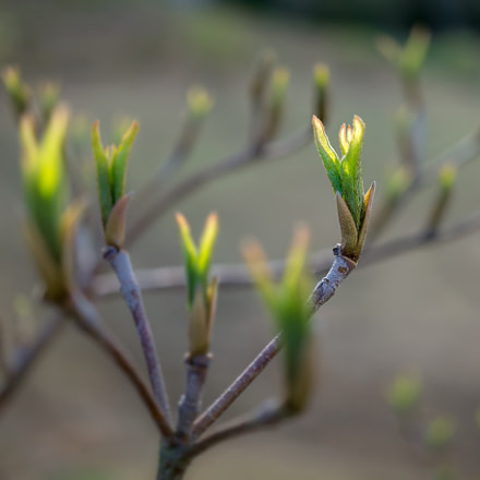dogwood shoots, Sony ILCE-6000, E 30mm F3.5 Macro