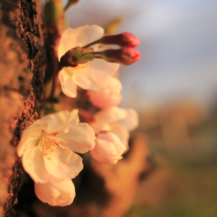 cherry blossoms in suset, Canon EOS KISS X7, Canon EF-S 24mm f/2.8 STM