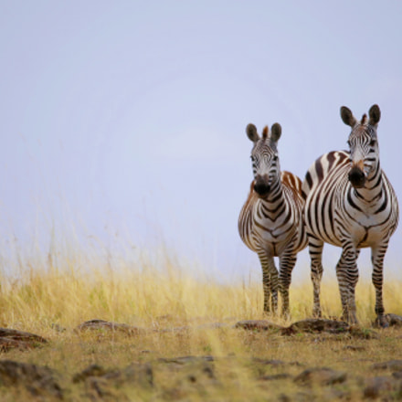 Plains Zebra, Canon EOS-1D X, Canon EF 200-400mm f/4L IS USM + 1.4x