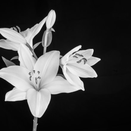 Lily flower in bloom, Nikon D300, AF Zoom-Nikkor 35-70mm f/2.8D